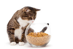 Gray cat and dry food Stock Image