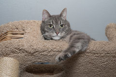 Striped gray cat lies on scratching posts Stock Photography