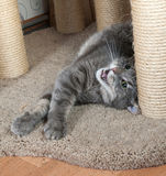 Striped gray cat lies on scratching posts Stock Photo