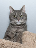Striped gray cat lies on scratching posts Stock Image