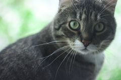 Striped, gray tabby cat sitting on the green background on the window. stock images
