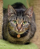 Striped green-eyed cat Royalty Free Stock Image
