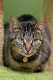 Striped green-eyed cat Royalty Free Stock Photography
