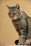 Striped green-eyed cat Stock Image