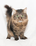 Striped green-eyed Siberian cat on gray  background Stock Images
