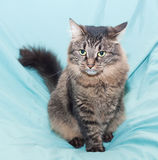 Striped green-eyed Siberian cat sits Royalty Free Stock Photo