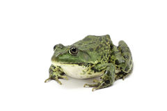 Striped green frog Royalty Free Stock Image