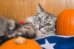 The striped grey cat plays with pumpkins on the American flag. Wallpapers for holiday Halloween stock photography