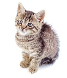 Striped grey kitten isolated. On white background. Striped not purebred kitten royalty free stock images