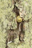 Striped ground snail on tree bark Stock Images