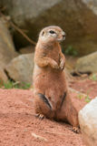 Striped Ground Squirrel (Paraxerus flavovittis) Stock Images