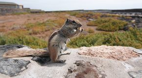 Striped ground squirrel (Xerus erythropus). On the stone wall eating cookie Stock Photos