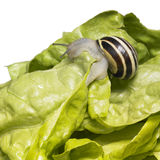 Striped Grove snail and lettuce leaves Stock Image