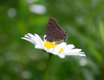 Striped Hairstreak Butterfly Royalty Free Stock Photos