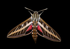 Striped Hawk-moth (Hyles livornica) Isolated on a Black Background. Top view of a Striped Hawk-moth isolated on a black background. His partially spread wings stock photo