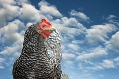 Striped hen blue sky scenic Royalty Free Stock Photography