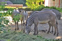 Zebras - striped horses Stock Photos