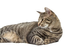 Striped House Cat Royalty Free Stock Photo