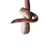 Striped House Snake on white background Stock Images