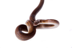 Striped House Snake on white background Stock Photos