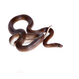 Striped House Snake on white background Royalty Free Stock Image