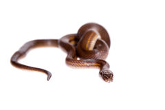 Striped House Snake on white background Royalty Free Stock Photography