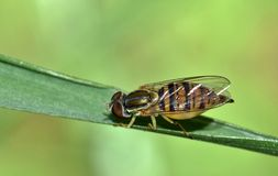 Striped Hover fly resting on a blade of grass. stock photo
