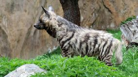 Striped hyaena султанша Hyaena гиены сток-видео