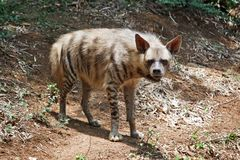 Striped hyaena Royalty Free Stock Images