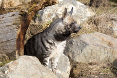 Striped Hyaena, Hyaena Hyaena, attentively watching nearby Royalty Free Stock Images