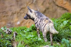 Striped Hyaena, Hyaena Hyaena, in a grassy paddock Stock Photos