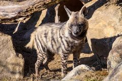 Striped Hyaena, Hyaena Hyaena, Royalty Free Stock Image