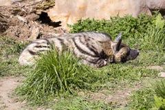 Striped Hyaena, Hyaena Hyaena sultana, a smaller species Stock Image
