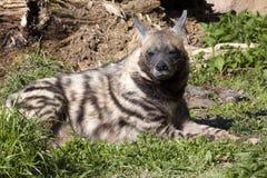 Striped Hyaena, Hyaena Hyaena sultana, a smaller species Royalty Free Stock Photo