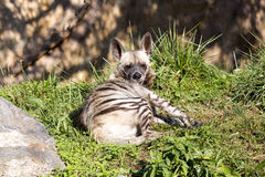 Striped Hyaena, Hyaena Hyaena sultana, a smaller species Royalty Free Stock Photography