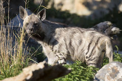 Striped Hyaena, Hyaena Hyaena, watching nearby Royalty Free Stock Photo