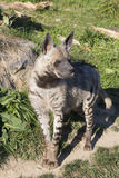 Striped Hyaena, Hyaena Hyaena, watching nearby Stock Images