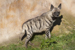 Striped Hyaena, Hyaena Hyaena, watching nearby Royalty Free Stock Photos