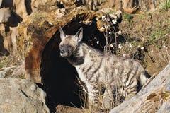 Striped Hyaena, Hyaena hyaena, watching nearby Stock Photo