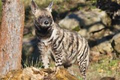 Striped Hyaena, Hyaena hyaena, watching nearby Royalty Free Stock Image
