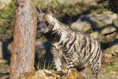 Striped Hyaena, Hyaena hyaena, watching nearby Stock Images