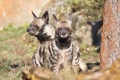 Striped Hyaena, Hyaena hyaena, watching nearby Royalty Free Stock Photo