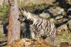 Striped Hyaena, Hyaena hyaena, watching nearby Stock Photography