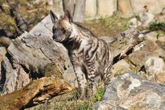 Striped Hyaena, Hyaena hyaena, watching nearby Stock Image