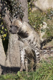 Striped Hyaena, Hyaena Hyaena, watching nearby Royalty Free Stock Photography
