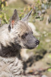 Striped Hyaena, Hyaena Hyaena, watching nearby Stock Image