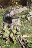 Striped Hyaena, Hyaena Hyaena, watching nearby Royalty Free Stock Images
