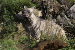 Striped Hyaena, Hyaena Hyaena, watching nearby Royalty Free Stock Image
