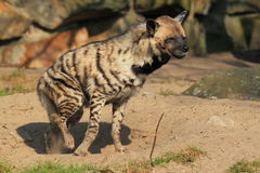 Striped hyena. The getting up striped hyena from the soil Stock Photos