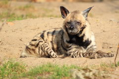 Striped hyena. The striped hyena lying in the soil Stock Photos